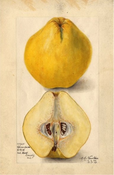 Figure 2:  Champion Quince  http://quincefive.org/index1.html