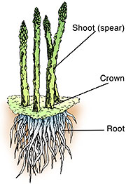 Diagram of asparagus